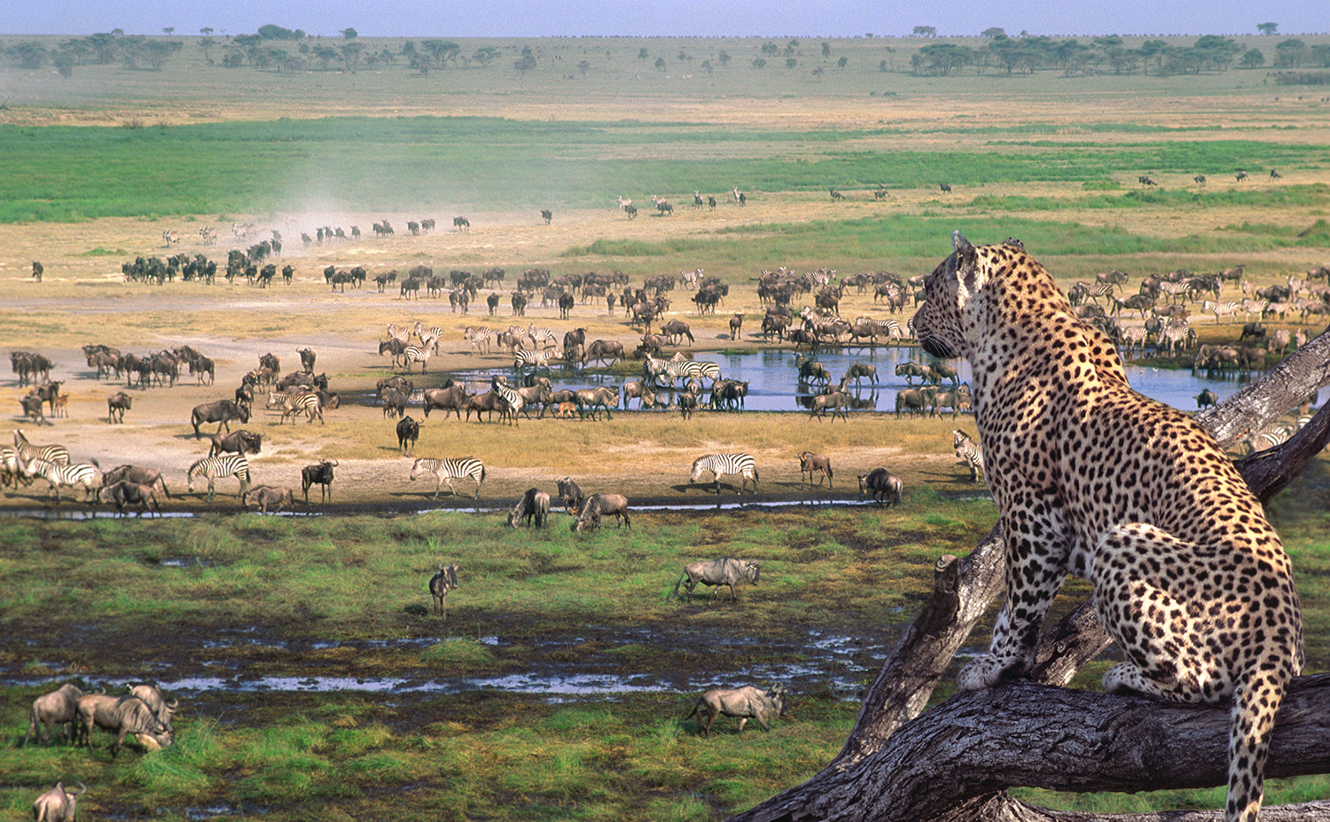 Leopard overlooks the African plains of the Serengeti in Tanzania. Photo from Wilderness Travel